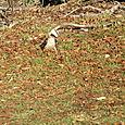 Kookaburra (bird)