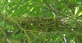 Eurasian Collared Dove on nest