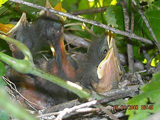 Baby mockingbirds day 3 photo 2