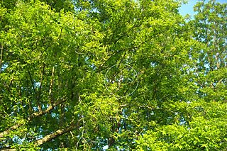 Spot the mockingbird