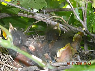 Baby mockingbirds day 3