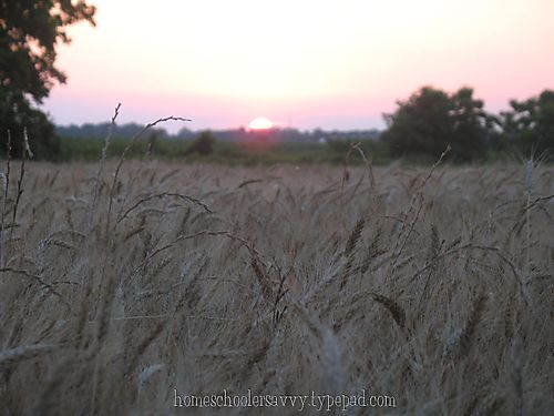 Wheat field near harvest sunset weeds