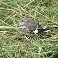 Mockingbird Baby (June 1st)