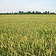 2008 Mississippi Delta Wheat crop