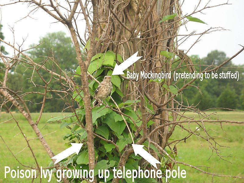 Poison ivy 7