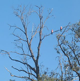 Galahs watching the guinea fowl running