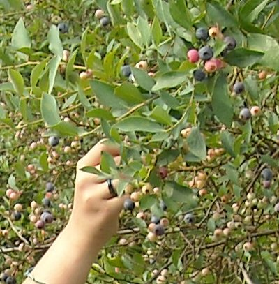 Hand picking blueberries