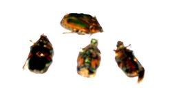 June_bugs