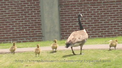 Nature_walk_with_kids_canadian_goos